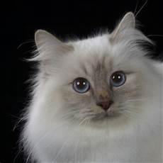 gatti persiani costo esposizione felina in arrivo a spoleto 350 gatti da tutto