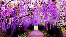 flower wallpaper for pc hanging flower wisteria purple flowers wallpaper for pc