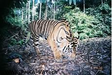 Harimau Merah Putih Mongabay Co Id