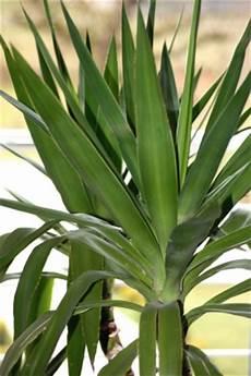 yucca palme pflegen yucca palme pflege die richtige pflege f 252 r ihre yucca palme