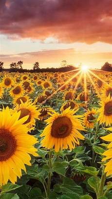 Wallpaper Lock Screen Iphone Sunflower Background grand sunflower field iphone 5s wallpaper iphone 5 se