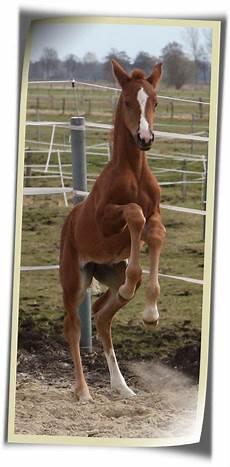 pferdezucht piehl hannoveraner fohlen und pferde aus dem