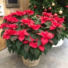 Weihnachtssterne Wie Sie Die Beliebten Zimmerpflanzen