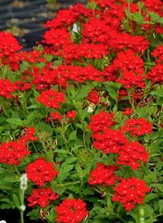 butterfly attracting perennials home garden