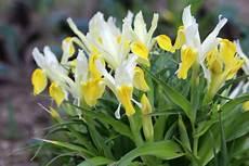 tulpen pflege nach der blüte tulpen pflanzen setzen und pflege nach der bl 252 te