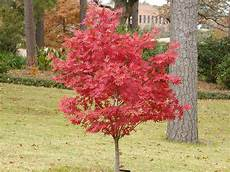 Acer Palmatum Japanese Maple The Home Depot Community