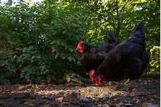 galline da cortile due galline graffiano nel cortile immagine stock
