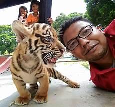 Berikut Penyebab Kematian Anak Anak Harimau Di Kebun