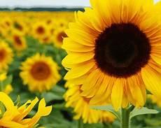 Bunga Matahari Ciri Gambar Habitat Manfaat Dan Cara