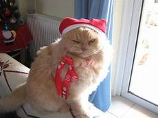 merry christmas cats photo 33154212 fanpop