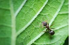 hausmittel gegen ameisen im garten hausmittel gegen ameisen