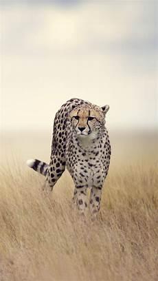 cheetah wallpaper for iphone cheetah iphone wallpaper gallery