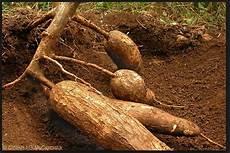 Pengertian Dan Definisi Singkong Ubi Kayu Ketela Pohon