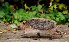 wie alt wird ein igel how we can help our hedgehogs after more than a decade of