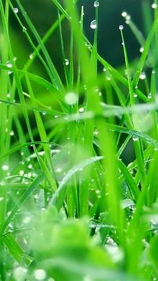 grass flower wallpaper iphone fresh dew grass leaves after iphone 6 plus