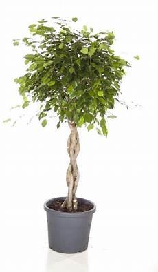 Ficus Exotica Benjamina Gevlochten Stam Medium Eenvoudig