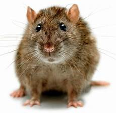 hirnforschung ratte verarbeitet information so gut wie