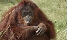Bornean Orangutan Redd S Social Circle Is Growing