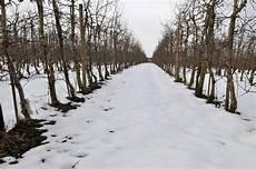 schneiden winter kirschbaum schneiden winter