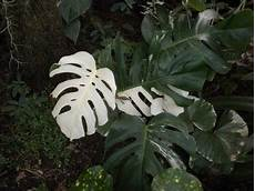 monstera deliciosa variegata variegated monstera buy