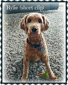 semi short haircut on a goldendoodle goldendoodles goldendoodle coat types and textures