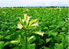 Darf Tabak Selbst Anbauen