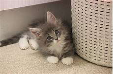 kitten for sale pedigree maine coon kittens for sale east