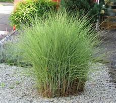 gräser im garten als sichtschutz miscanthus sinensis quot morning light quot chinaschilf gr 228 ser