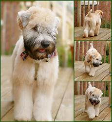 soft coated wheaten terrier haircut photos pin by pin on wheaten adventures