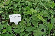 plante pour le foie infos sant 233 autrement la plante qui r 233 g 233 n 232 re le foie et