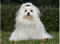 Bichon maltais : chien et chiot. Maltese, Maltais   Wamiz