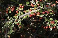 arbuste fruit arbuste des fruits rouges cognassier du japon d aucuba