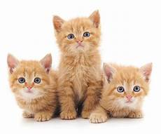 drei rote katzen stockbild bild inl 228 ndisch liebe