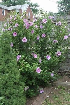 hibiskus strauch schneiden of pruning how and when to prune of