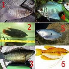 Gambar Ikan Sepat Siam Dunia Binatang