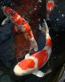 Gambar Ikan Koi Gambar Keren Dan Unik Wallpaper Foto