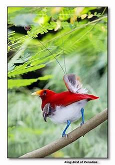 cing paradis birds of paradise cicinnurus regius king bird of paradise