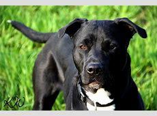 Bella (Amerikanischer Staffordshire Terrier, Kuvasz