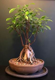 Ficus Ginseng Pruning Watering And How To Care For Diseases