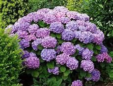 tailler les hortensias photos tailler un hortensia ce qu il faut savoir