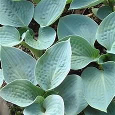 Hosta Big Dorset Perennials