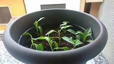 come seminare i pomodori in vaso quando seminare i peperoncini guida facile con
