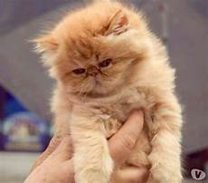 gattina persiana gattina persiana ipertipica animali febbraio clasf