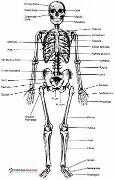 Anatomi Fisiologi Skeletal Be Health Inside And Outside