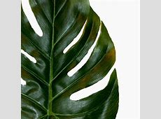 Swiss Cheese Plant Leaf   17cm monstera leaf   Shelf Edge