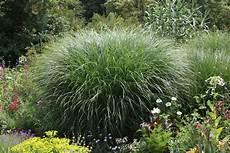 pflanzen für trockene schattige standorte der richtige standort f 252 r ziergr 228 ser im garten