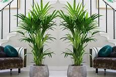 kentia plante dinterieur palmier d int 233 rieur kentia 1