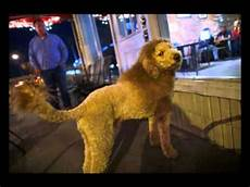 dog with lion style haircut gives town a scare cops call zoo 911 tapes youtube