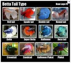 1001 Tipe Jenis Nama Ikan Laga Crowntail Dan Cupang
