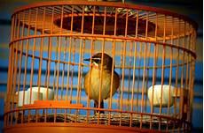gabbia uccello fotografia uccello in gabbia cattivit 224 imm 29352